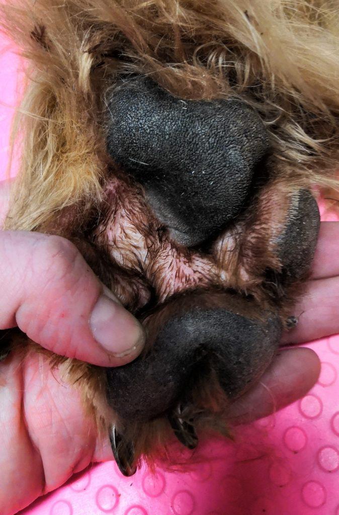 Tässä on tassukarvat siistitty. Anturoiden välissä iho on terve, mutta jos karvat saavat kasvaa siellä valtoimenaan, voi karvojen alla muhia vaikka mitä.